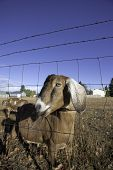 stock photo of nubian  - A humorous closeup of a nubian goat behind a fence - JPG