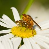 stock photo of animals sex reproduction  - Two flies mating on a white flower