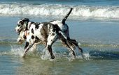 Great Danes Playing In The Surf.