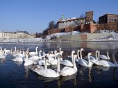 herd of swams on the visula river in cracow with wawel castel in the winter