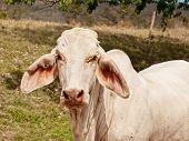 Nahaufnahme von jungen weißen Brahman-Kuh-onranch