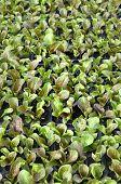 healthy lettuce growing in pots