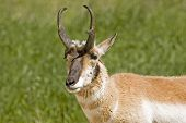 Pronghorn Antelope Eyes The Camera Warily