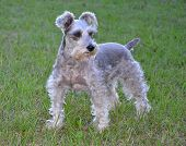 picture of schnauzer  - Gray Schnauzer looking at something in the yard - JPG