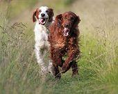 Irish Setters Running