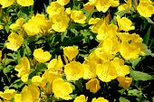 picture of yellow buds  - Ranunculus or Buttercup flower is a perennial plant usually flowering in the spring and sometimes in the summer - JPG