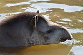 stock photo of tapir  - Young Tapir in water with head showing