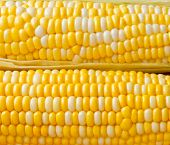 Bi-colors Corn  Background.