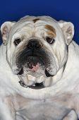 Closeup of a British bulldog against blue background