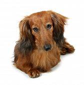 Dog long-haired dachshund pet