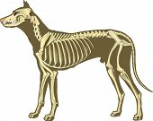 stock photo of animal anatomy  - skeleton of dog section with bones x ray - JPG