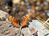 Satyr Comma Butterfly