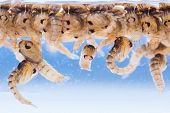 stock photo of mosquito  - Close up Mosquito pupae underwater in lab - JPG