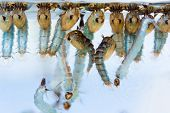 stock photo of larvae  - Close up mosquito pupae and larvae underwater - JPG