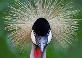 Black Crowned Crane with direct look