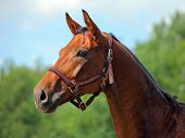 Beautiful dressage horse portrait