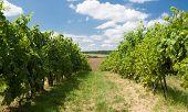 Grape Garden In Moravia