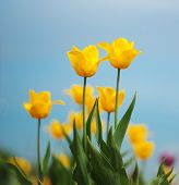 Yellow Tulips Against The Sky