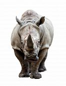 picture of rhino  - huge rhino isolated on white - JPG