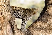 Wild Leopard In A Tree