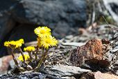 Flower coltsfoot