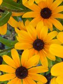 image of black-eyed susans  - A close - JPG