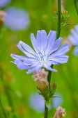 Common chicory, Cichorium intybus