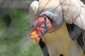 A King Vulture In Captivity