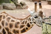 image of terrestrial animal  - The giraffe  - JPG