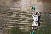 Mallard Ducks (anas Platyrhynchos) Flapping Wings In Pond In Soft Focus