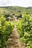 Vineyard With View On Burgundy Village