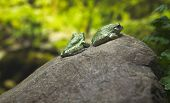 Green Toads On Rock