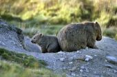 image of wombat  - The Common wombat is also called the Coarse haired wombat the Naked nosed wombat the Forest wombat the Island wombat and the Tasmanian wombat - JPG