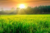 Morning Sunlight With Green Rice Fields