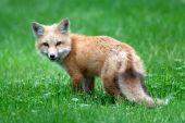 Baby Red Fox (kit)