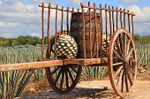 stock photo of oxen  - Old mexican trailer in front of blue agave plantation - JPG