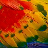 stock photo of fowl  - Abstract background of colorful Scarlet Macaw feathers - JPG