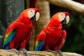 stock photo of vertebrate  - Beautiful couple of Scarlet Macaw aviary - JPG