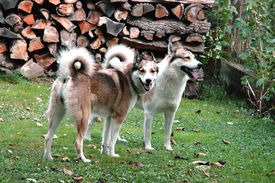 stock photo of laika  - Bitch and Dog West Siberian Laika in the backyard - JPG