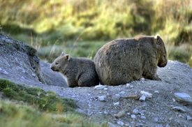 pic of wombat  - The Common wombat is also called the Coarse haired wombat the Naked nosed wombat the Forest wombat the Island wombat and the Tasmanian wombat - JPG