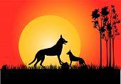 Dingo In Sunset