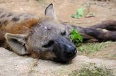 Sleeping Hyena