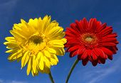 Red And Yellow Gerbera On Blue Sky