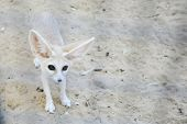 Fennec Fox In Tozeur Zoo