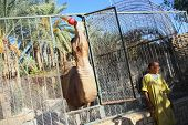 Camel Drinking Cola In Zoo Cage