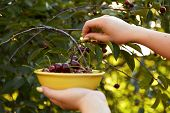 foto of cherry-picker  - Woman harvesting ripe cherries in the yellow bowl - JPG