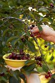 Woman Harvesting Ripe Cherries