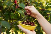 stock photo of cherry-picker  - Man harvesting ripe cherries in the yellow bowl - JPG