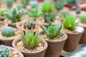 Close Up Cactus Plant In Flowerpot