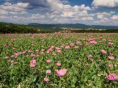 stock photo of opium  - Pink Opium Poppy field in a rural landscape Germany - JPG